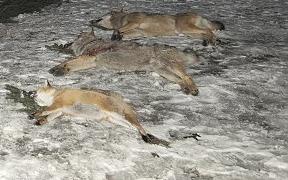 Zastrelení vlci v roku 2007