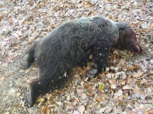 Nezákonne ulovený medveď na univerzitnej poľovačke v januári 2005 - 1