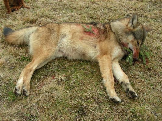 Zastrelený vlk v roku 2008